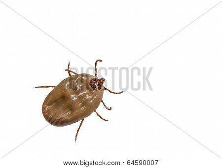 A female tick isolated on white background poster