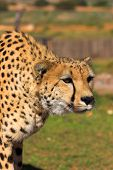 Cheetah stalking prey poster