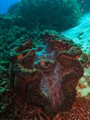 Giant Clam Tridacna maxima on Great Barrier Reef Australia poster
