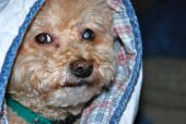 The photo is of a brown toy poodle under a blanket. poster
