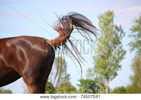 Brown horse swinging its tail to protect from insects poster