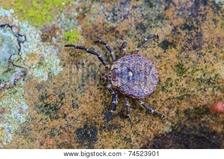 Parasite tick on ground insect in nature poster