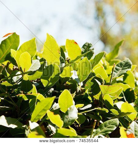 Fresh Leaves Of Laurel Tree Close Up