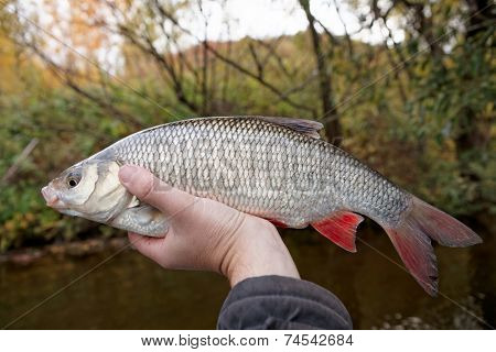 Big orfe fish in fisherman's hand caught in autumn