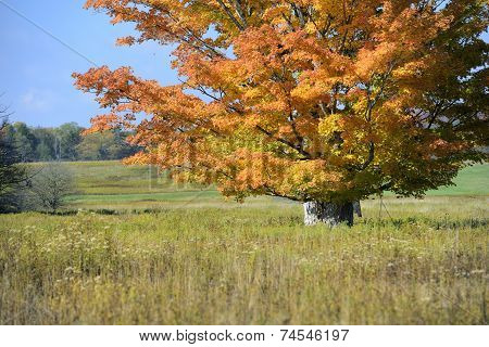 Large Maple Tree in Vivid Fall Colors