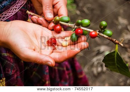 Ripening Coffee Beans On Plant