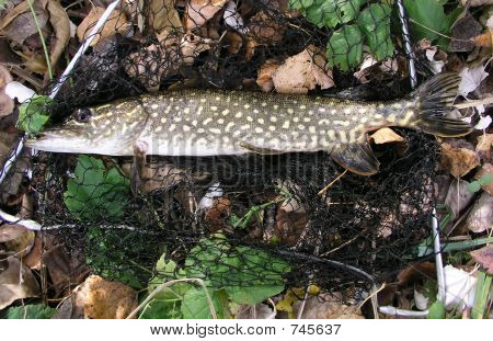 Pike on landing-net