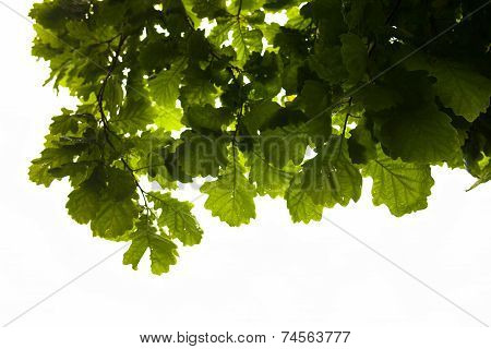 Green branches of the oak tree with the raindrops against the white sky background. poster