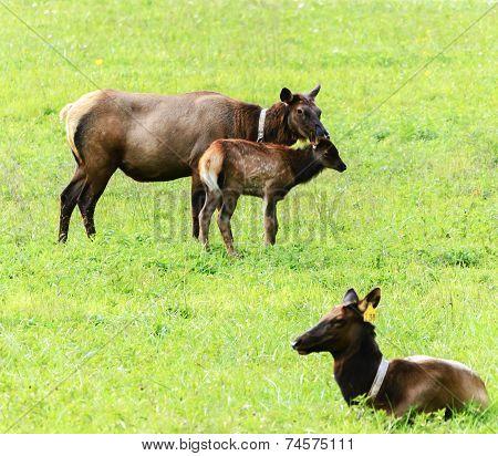 Female Elk of North Carolina