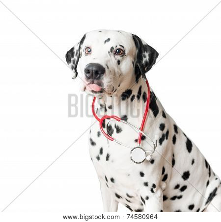 Funny Dalmatian Dog With Red Stethoscope.
