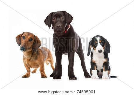 three puppies isolated on the white background