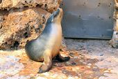 Australian Sea Lion - Neophoca cinerea - Basking in Sunshine in Zoo enclosure poster