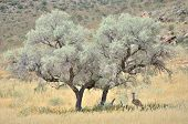 Kori Bustard hiding for the sun under a tree in the Kgalagadi Transfrontier Park South Africa poster