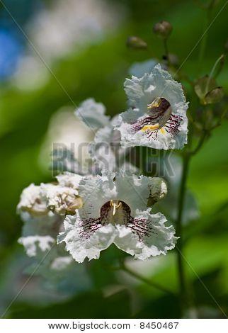 Flowers Of Catalpa