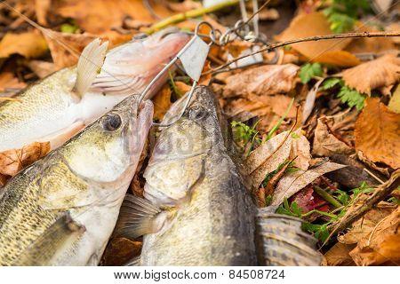 Freshly caught walleye