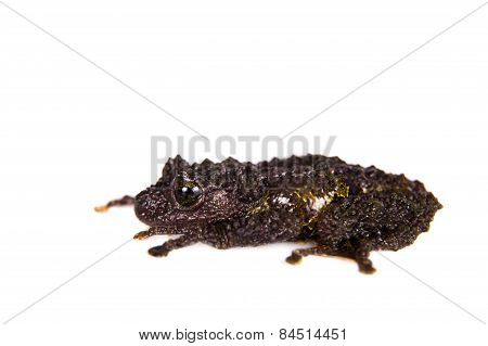 Theloderma bicolor, rare spieces of frog isolated on white background poster