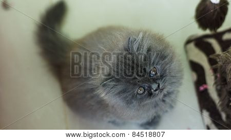 Fretful Grey Kitten