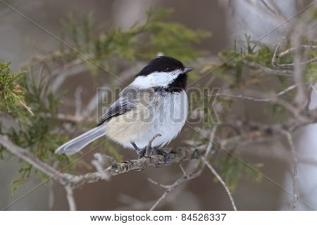 Black-capped Chickadee Perched In A Red Cedar Tree