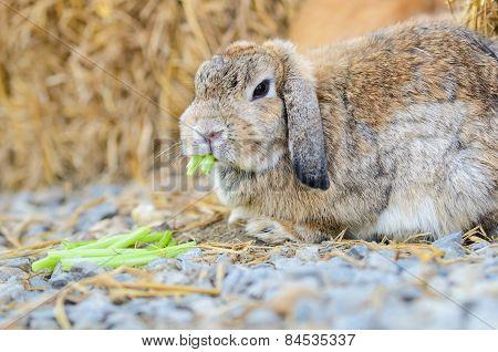 Cute Holland Lop Rabbit