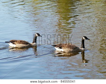 Canadian geese swimming in a pool