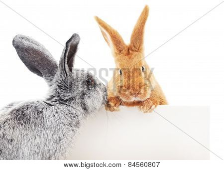 Rabbits With Blank