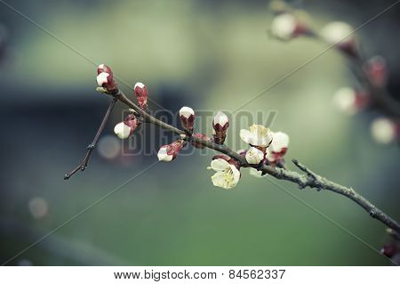Apricot tree flower