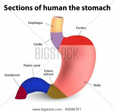 Human Stomach