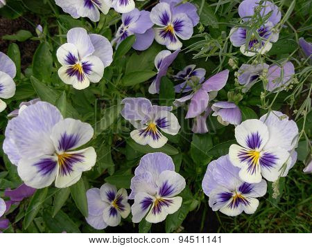 Heartsease Flowers Plant