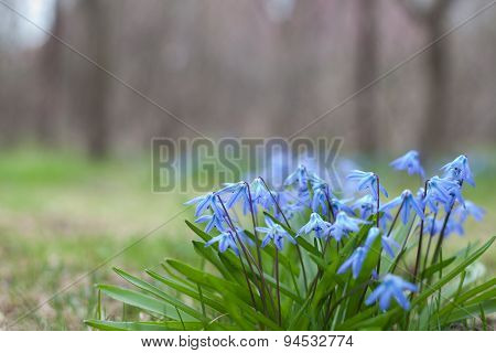 Scilla Siberica Flowers(siberian Squill, Wood Squill)