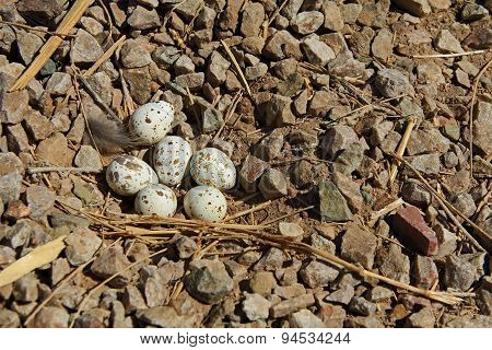 Gambel's Quail Nest with Six Eggs