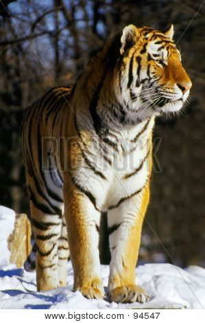 siberian tiger looks around - suggested resized use / bsp poster