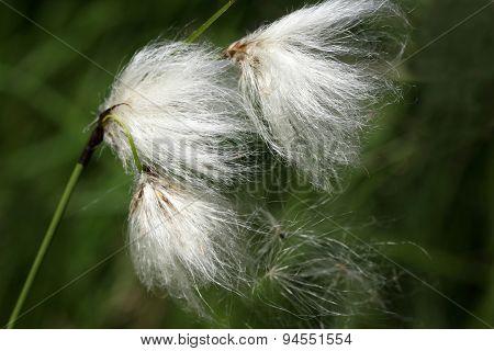 Eriophorum angustifolium or common cotton grass