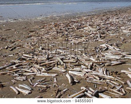 Beach filled with Atlantic jackknife clams