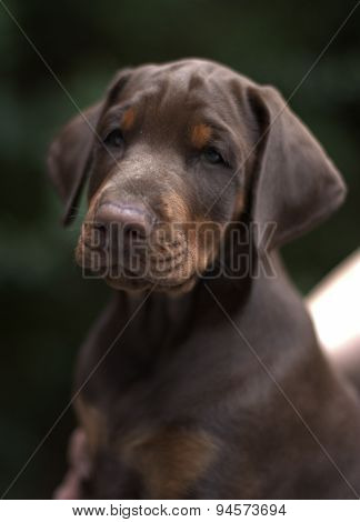Dobermann pappy braun-tan 8 week old portrait poster