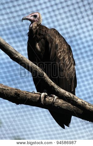 Hooded vulture (Necrosyrtes monachus). Wildlife animal.