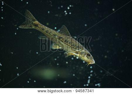 Gudgeon (Gobio gobio). Wildlife animal.