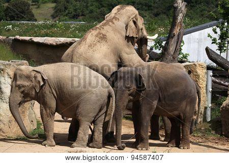 Indian elephants (Elephas maximus indicus) have sex. Wildlife animals.