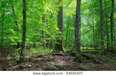 Primeval Deciduous Stand Of Natural Stand In Summertime