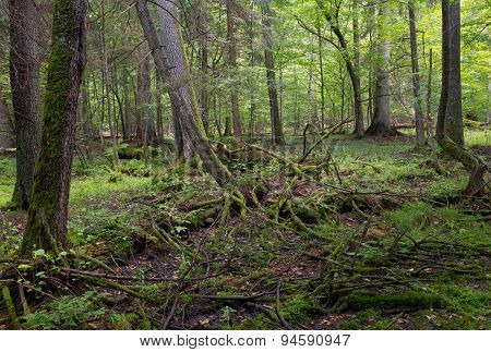 Primeval Deciduous Stand Of Bialowieza Forest In Summe