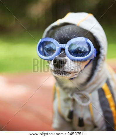 a cute chihuahua wearing goggles and a jacket sitting outside during summer time