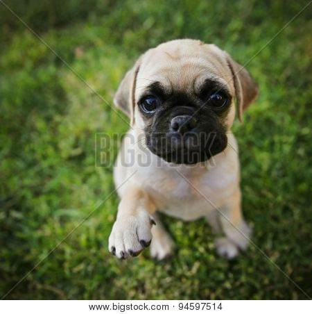a cute chihuahua pug mix puppy (chug) looking at the camera in a backyard during summer (SHALLOW DOF)
