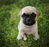 a cute chihuahua pug mix puppy (chug) looking at the camera in a backyard during summer (SHALLOW DOF) poster