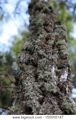 Moss on a tree. moss grows on the bark of birch