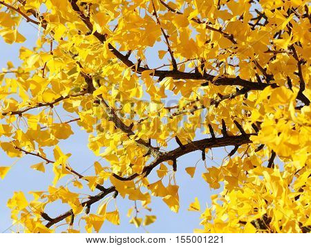 Ginkgo tree in autumn - selected focus narrow depth of field