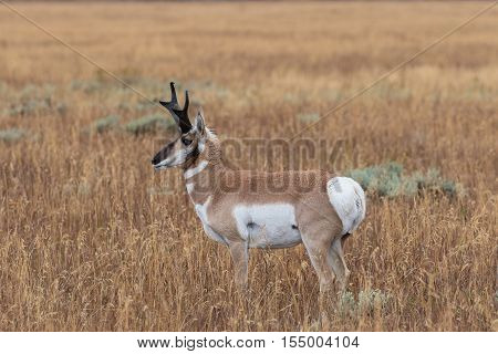 a pronghorn antelope buck on the Wyoming prairie