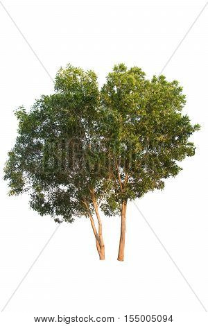 isolated tree on a white background, green tree