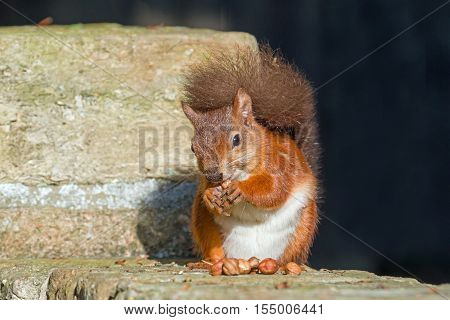 British native Red Squirrel eating on wall on Brownsea Island Dorset