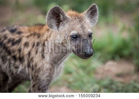 Starring Young Spotted Hyena.