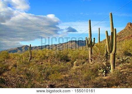 Saguaro cactus and desert landscape with clouds in late afternoon light