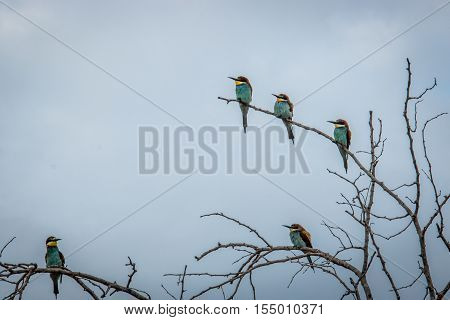 Five European Bee-eaters Sitting On A Branch.